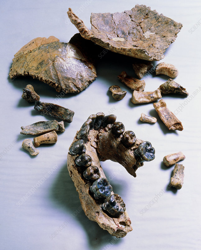 Type speciimen of Homo Hablis