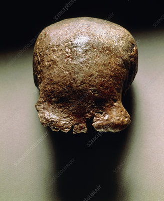Skull cap of Pithecanthropus erectus, Java Man