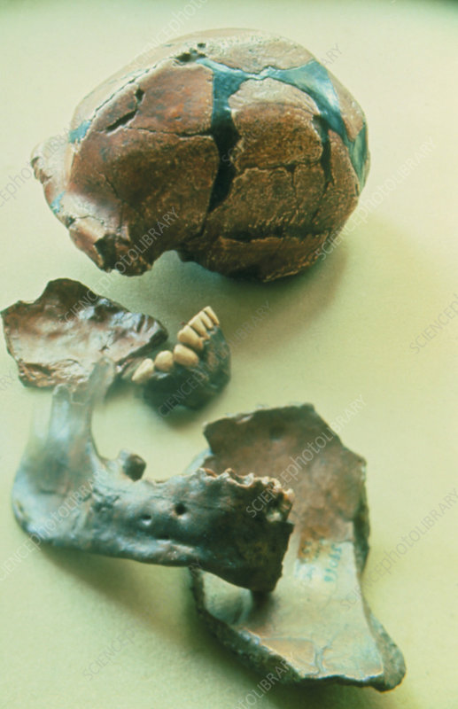 Fossil remains of Peking Man
