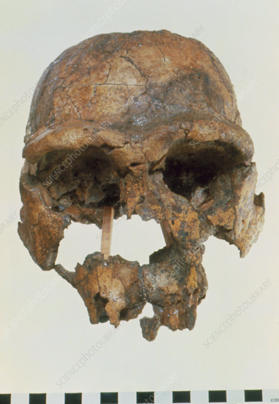 Front view of skull of Homo erectus (KNM-ER 3733)