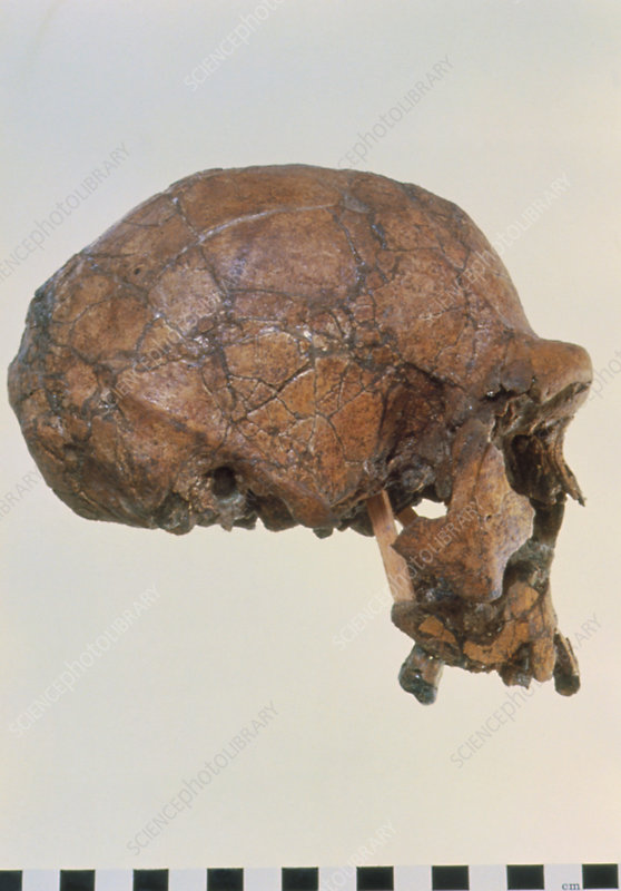 Side view of skull of Homo erectus (KNM-ER 3733)
