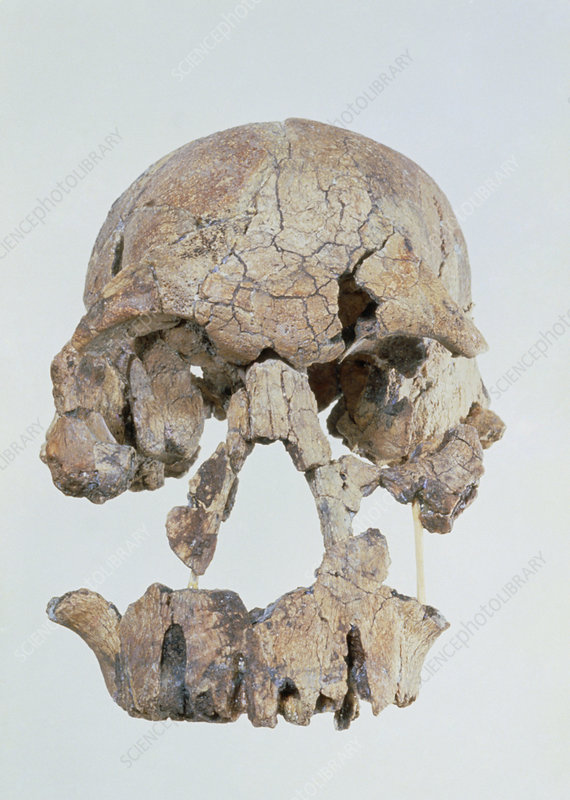 Front view of skull of Homo habilis (KNM-ER 1470)