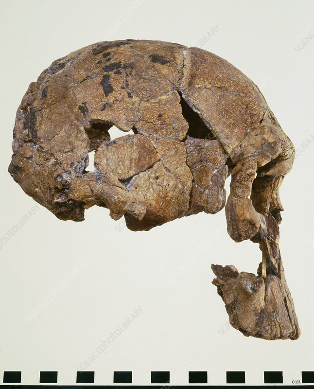 Side view of skull of Homo habilis (KNM-ER 1470)