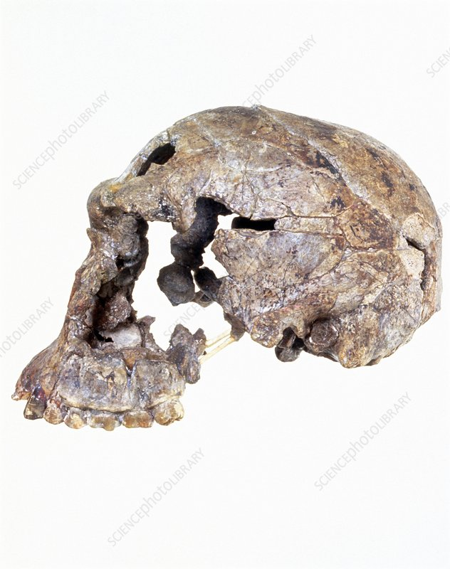 Side view of skull of Homo habilis (KNM-ER 1813)