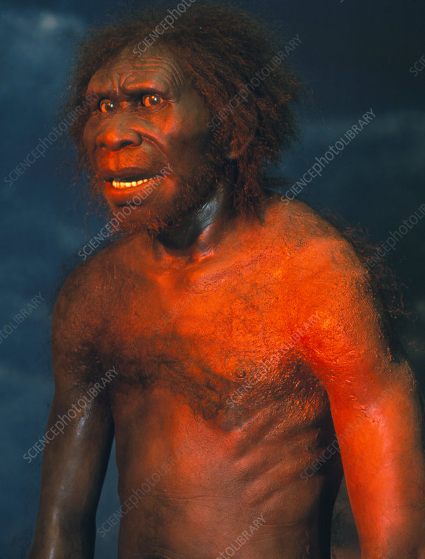 Model of a male Homo erectus man