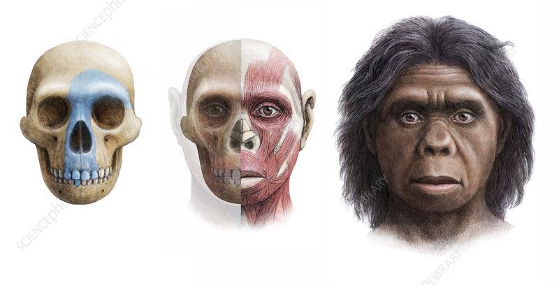 Essay on homo floresiensis