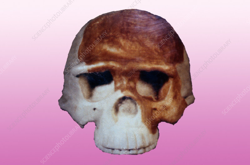 Nanjing Man cranium