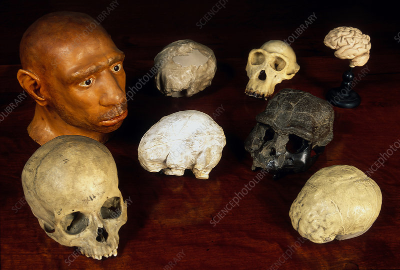Hominid and chimpanzee skulls and casts