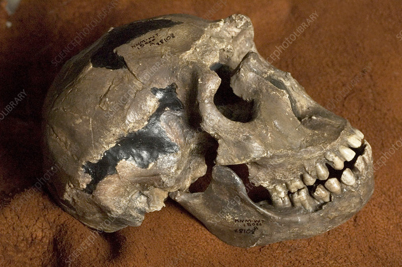 Turkana boy skull