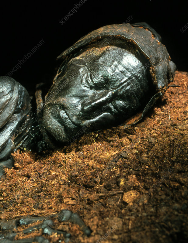The mummified well-preserved head of Tollund Man