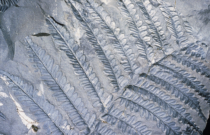 Fossil leaves of Neuropteris