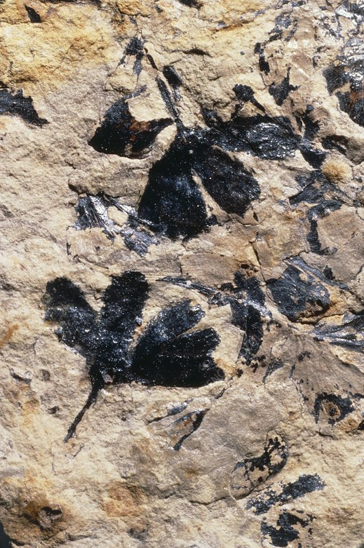 Fossilized leaves of ginkgo huttoni tree