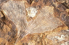 Fossilised ginkgo leaf