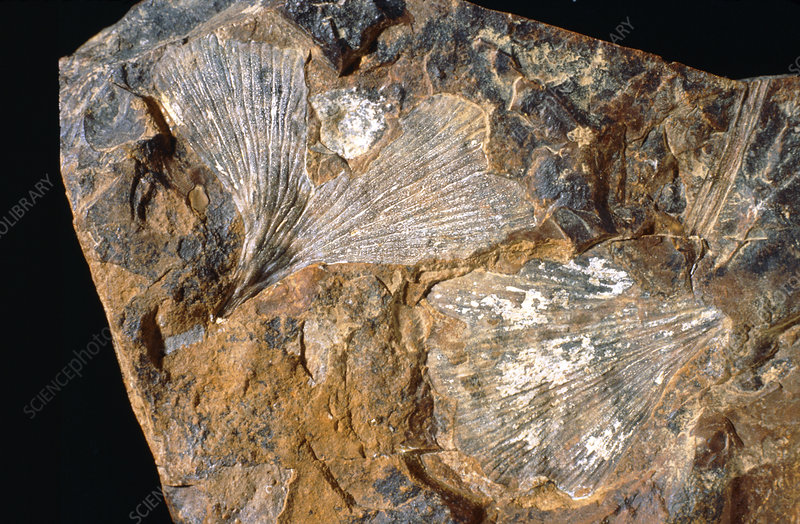 Fossilised ginkgo leaves