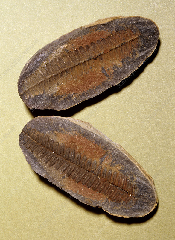 Fern fossil (Pecopteris sp.)