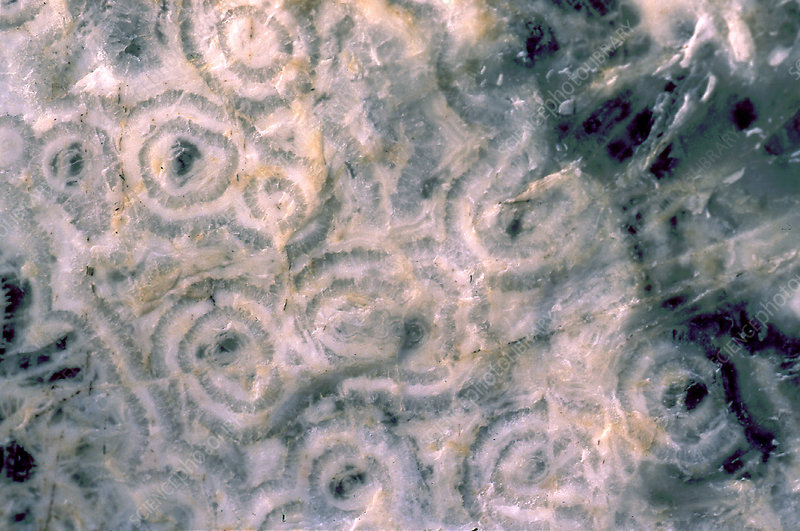 Fossil stromatolites, cross-section
