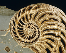 Fossilized shell of Nautilus Striatus