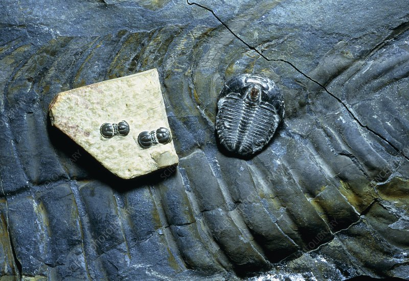 Extremes of fossil trilobite size