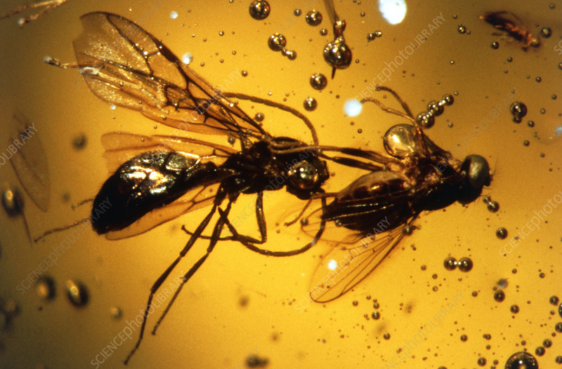 Macrophoto of fossilised wasp & fly in amber
