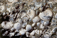 Assortment of fossilized ammonites