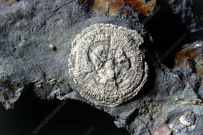Specimen of a disc-like fossil