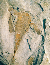 Fossil of a sea scorpion, Eurypterus remipes