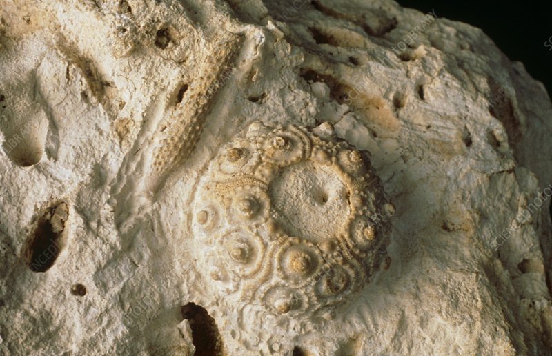 Fossilised sea urchin, Cidaris sp.