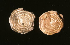 Two large foraminiferan fossils, Nummulites s.