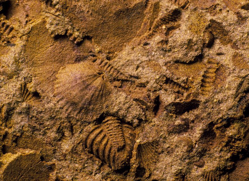 Mixed assemblage of fossils from the Silurian