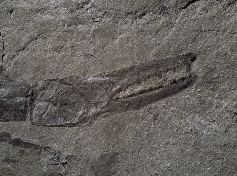 Claw of fossil sea-scorpion.