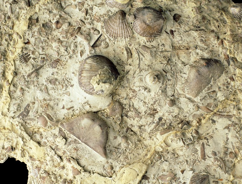 Fossil brachiopod shells from the Silurian period