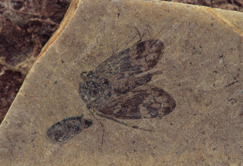 Fossilized moth in mud-stone