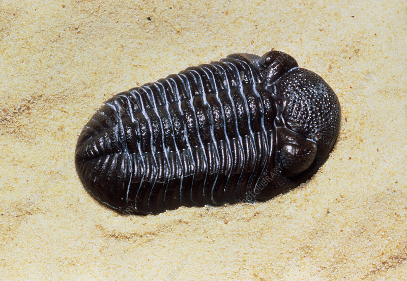 Fossil trilobite from Silurian period