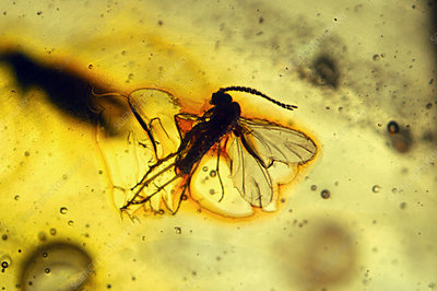 Fossilised insects (sciaridae) in Baltic amber