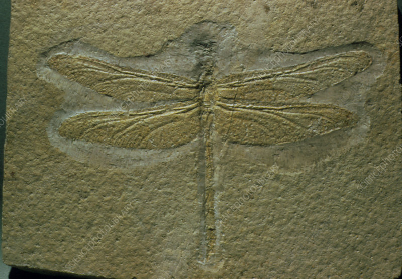 Fossil dragonfly preserved in rock