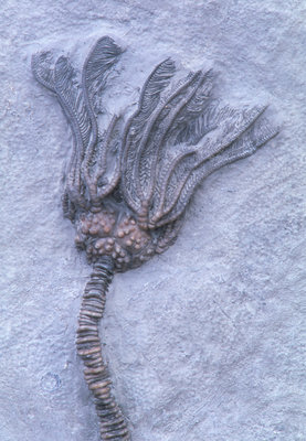 Fossil crinoid or sea lily