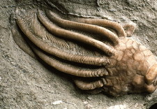 Close-up of a fossil crinoid or sea-lily