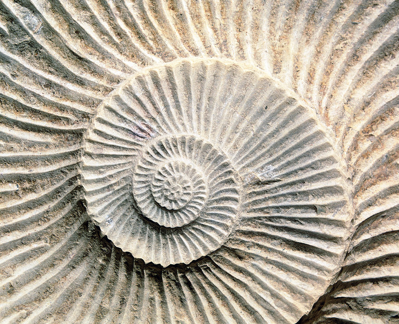 Spiral shape of a fossilised ammonite shell