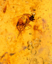 View of a fly fossilised in amber