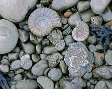 Fossilised ammonite shell among pebbles