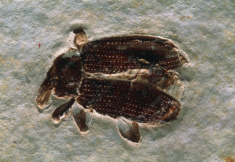 Fossil of an unidentified weevil