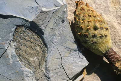 Magnolia fruit body and fossil