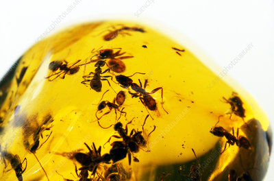 Ants in Amber