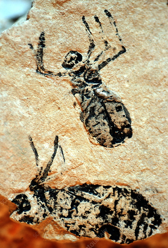 Insect nymph fossils