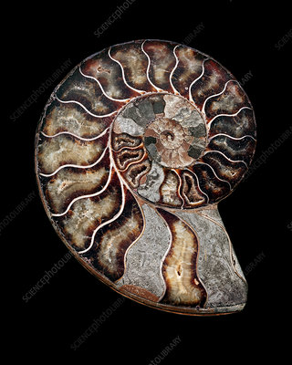 Fossilised ammonite (Asteroceras obtusum)