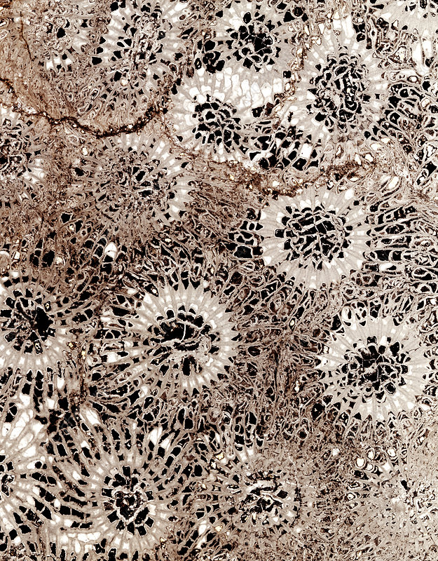 Fossil coral, thin section - Stock Image - E442/0682 - Science Photo