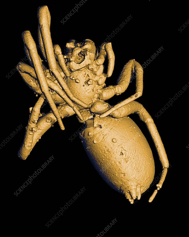 Prehistoric spider, 3-D CT scan