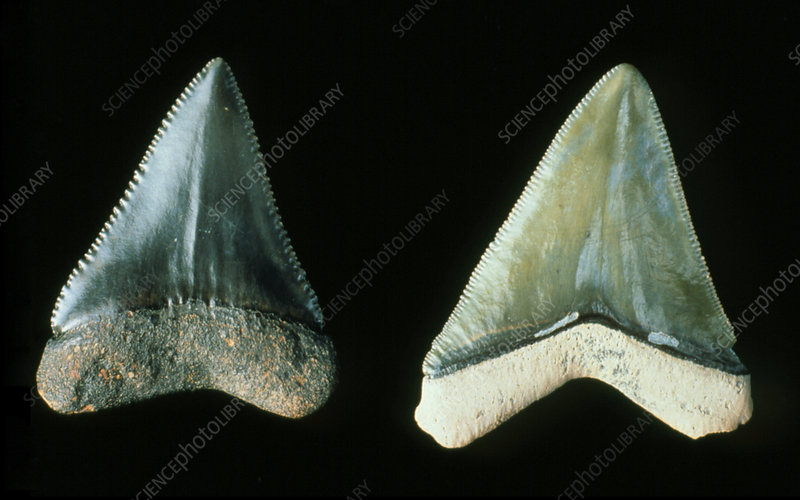 Two fossilised teeth from a great white shark