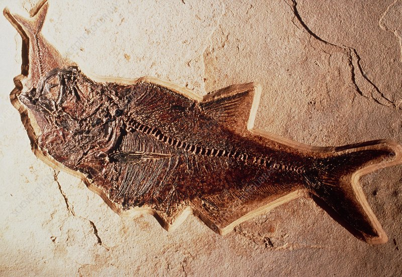 Fossil of fish that died eating its prey