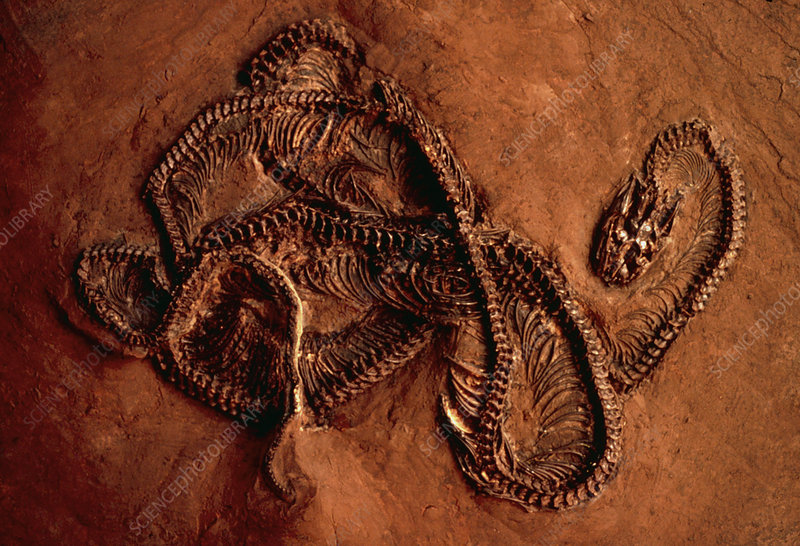 Fossilised remains of a snake